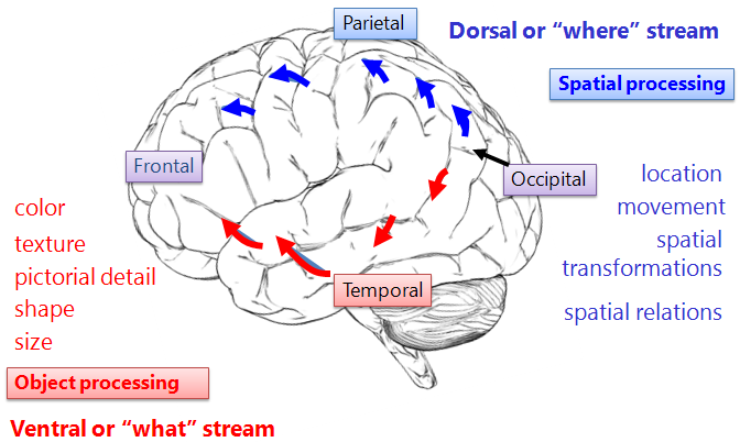 Dissociation  between object & spatial systems in the brain